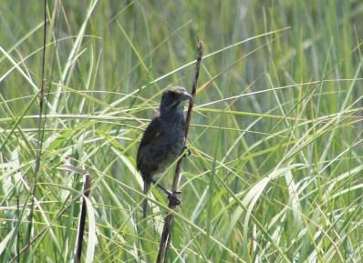 Seaside Sparrow (Image by David Horowitz)