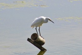 Snowy Egret (Image by BirdNation)