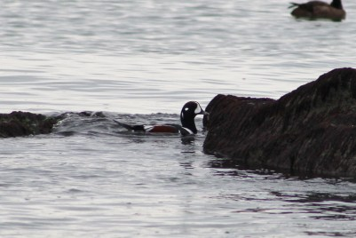 Harlequin Duck (Image by BirdNation)