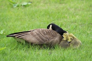 Sleepy Canada Geese (Image by David Horowitz)