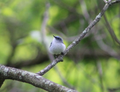 Blue-gray Gnatcatcher (Image by David Horowitz)