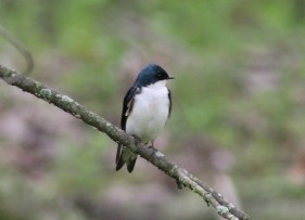 Tree Swallow (David Horowitz)