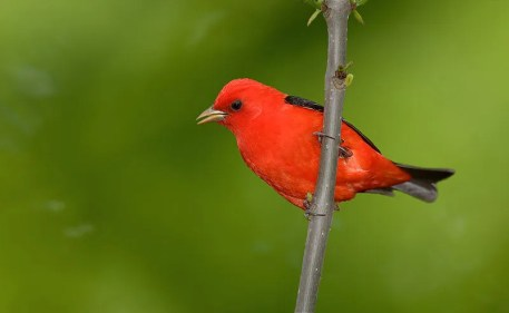 Scarlet Tanager (By Bmajoros (Own work) [CC BY-SA 4.0 (http://creativecommons.org/licenses/by-sa/4.0)], via Wikimedia Commons)