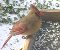How And What Are You Feeding Your Northern Cardinals?