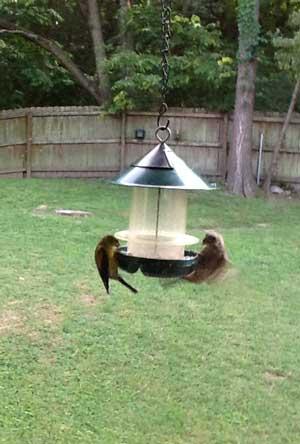 goldfinchesatfeeder
