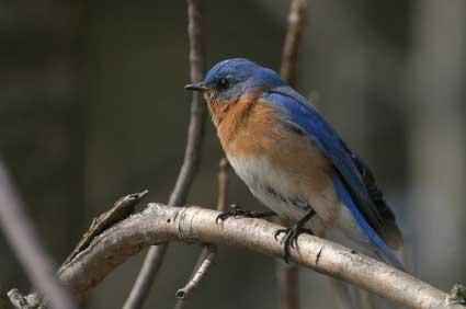bluebirddadSmall