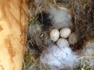 nesting chickadees