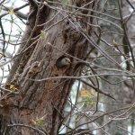 Redbellied Woodpecker 2