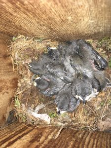tufted titmouse nestlings 6