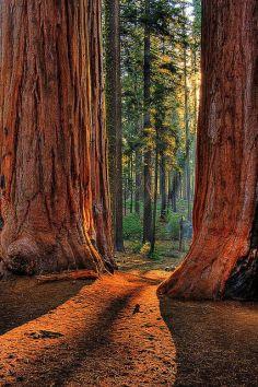sequoia5
