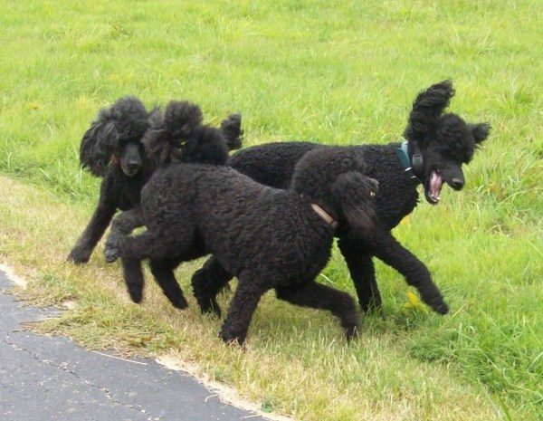 20+ Blue Standard Poodle Breeders Pictures and Ideas on Weric