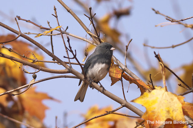 Dark-eyed Junco in fall