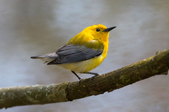 Prothonotary Warbler at Point Pelee