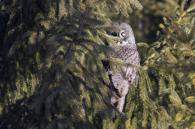 Great Grey Owl in Ottawa Ontario