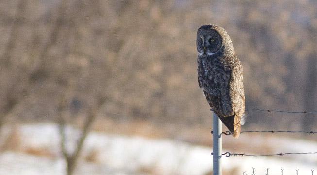 Great Grey Owl in Ottawa Ontario
