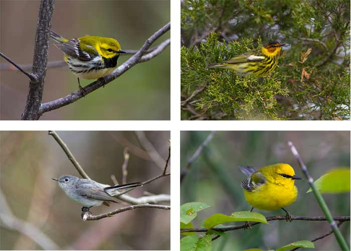 Songbirds of Point Pelee