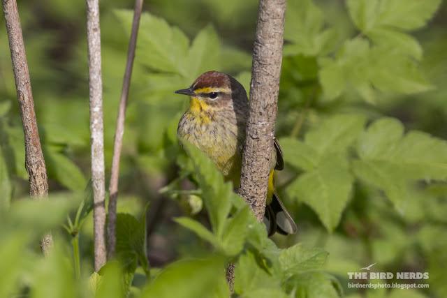 Palm Warbler during spring migration