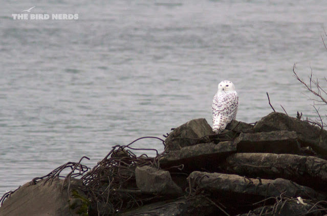 Snowy Owl in Port Weller