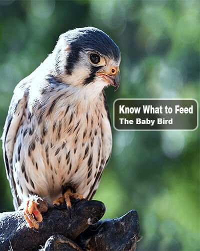 Know Baby Bird - What to Feed a Baby Bird without Feathers