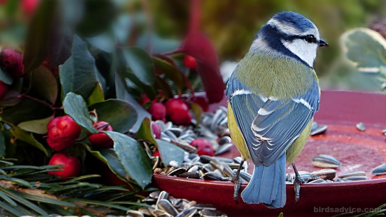 What Birds Eat Black Oil Sunflower Seeds
