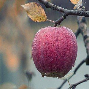 Apples | Birds Advice