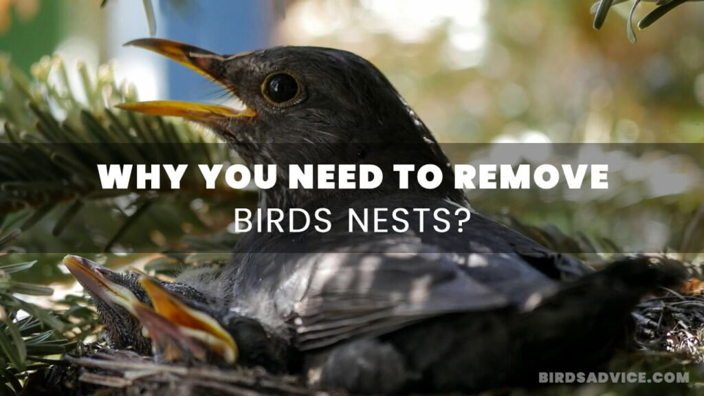 Why You Need to Remove Birds Nests? Birds Advice