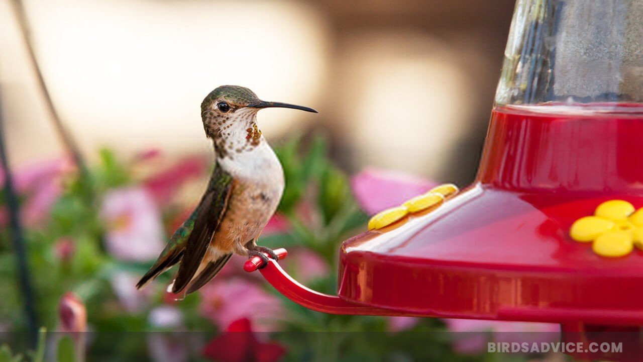 What To Put In Hummingbird Feeder? Some Useful Tips