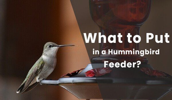 What to Put in a Hummingbird Feeder? Useful Tips For You