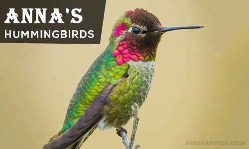 Anna's Hummingbirds   Where Do Hummingbirds Go in the Winter?