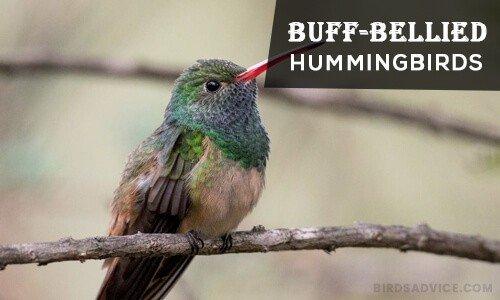 Buff-Bellied Hummingbirds
