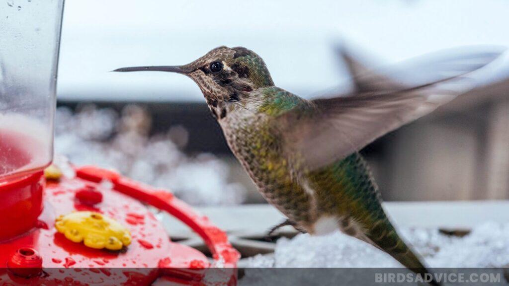 Where Do Hummingbirds Go in the Winter