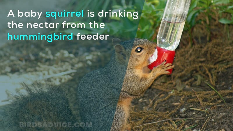 A baby squirrel is drinking the nectar from the hummingbird feeder
