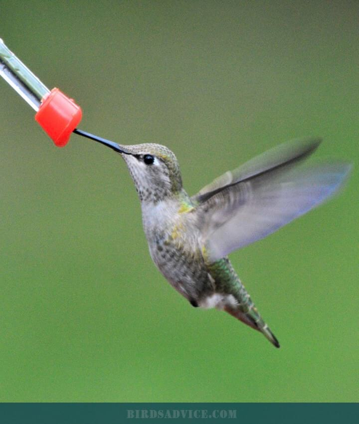 Anna's Hummingbirds   When Do Hummingbirds Migrate South