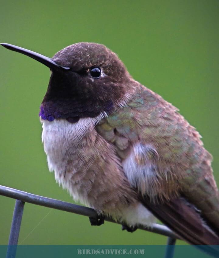 Black-chinned Hummingbird   When Do Hummingbirds Migrate South