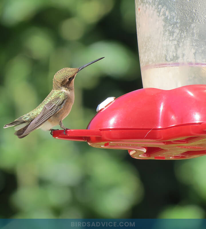 When Should You Take Down Hummingbird Feeders for Winter