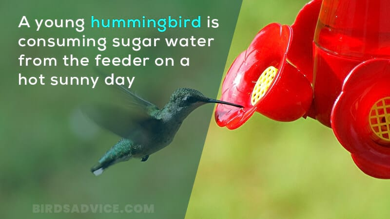A young hummingbird is consuming sugar water