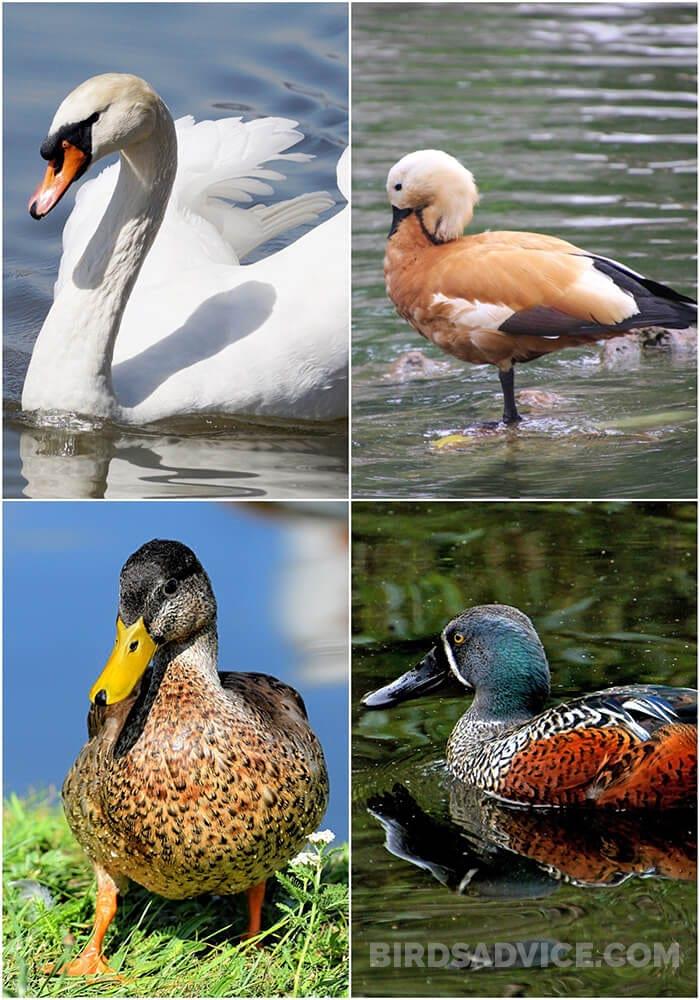 Waterfowl Birds | What Do Birds Eat in the Wild?