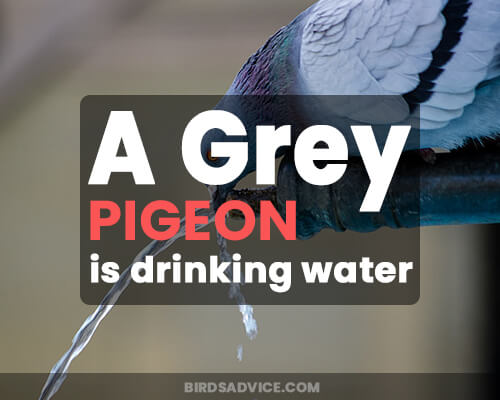 A Grey Pigeon is drinking water.
