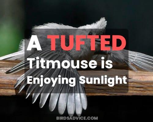 A Tufted Titmouse is enjoying sunlight