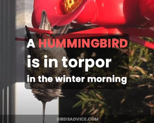 A hummingbird is in torpor in the winter morning.