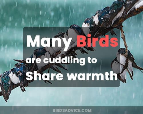 Many birds are cuddling to share warmth