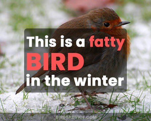 This is a fatty bird in the winter
