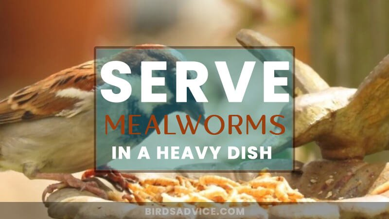 Serve Mealworms in a Heavy Dish