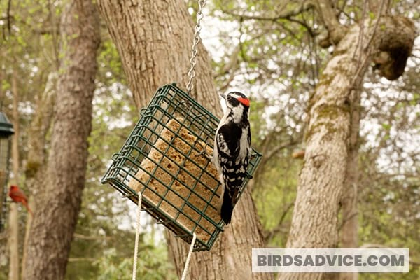 Place A Suet Feeder For Woodpeckers