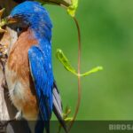 What Do Bluebirds Eat? Exclusive Tips For Feeding Bluebirds