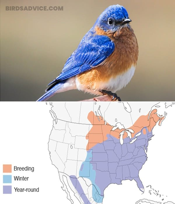 What Do Eastern Bluebirds Eat