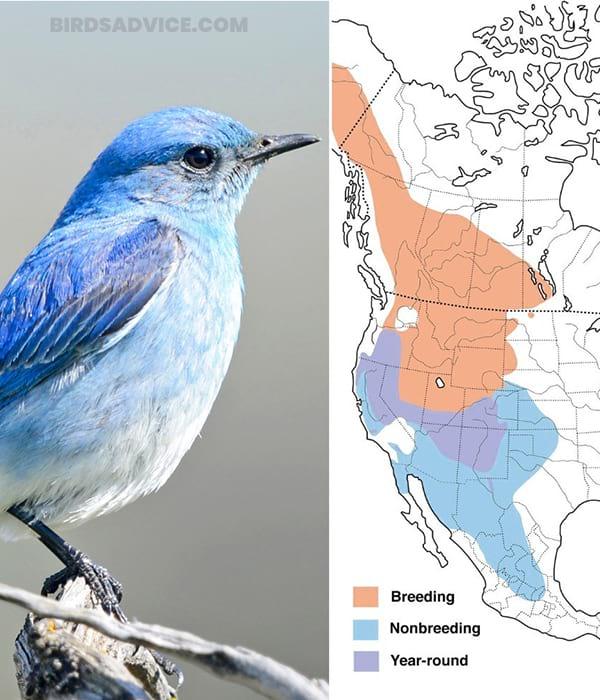 What Do Mountain Bluebirds Eat