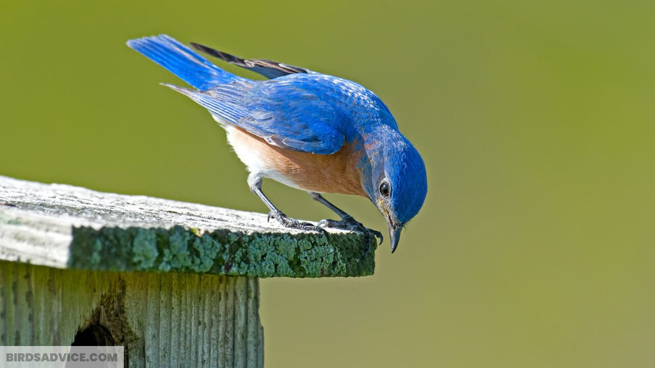 How To Attract Bluebirds To Your Yard | 20 Helpful Tips