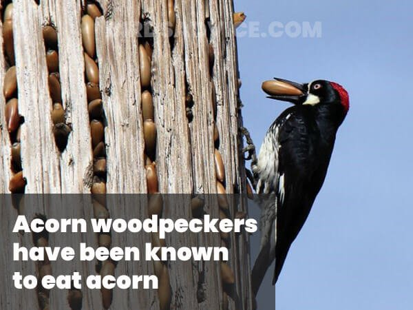 Acorn For Woodpeckers