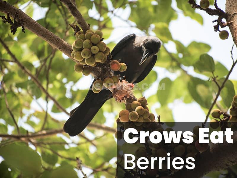 Crows eat berries